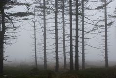 Mystical Silhouettes of Trees in Foggy Wood Royalty Free Stock Photos