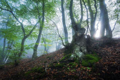 Mystical spring forest in fog. Magical old trees in clouds Royalty Free Stock Photography