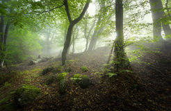 Mystical spring forest in fog. Magical old trees in clouds Royalty Free Stock Photo