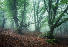 Mystical spring forest in fog. Old trees in clouds Royalty Free Stock Photos