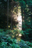 Mystical sunlight in forest. Mystical sunlight between the trees in Bowen Island, Vancouver, BC royalty free stock image