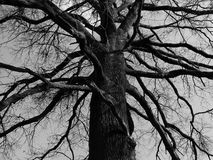 Mystical tree. A very old mystical tree with a lot of branches Stock Photos