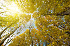 The mystical view of autumn trees in sunlight Stock Photos