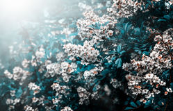 Free Mystical White Spring Flowers In Sunlight Stock Images - 93820494