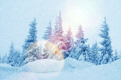 Mystical winter landscape of trees in sunlight during snowfall Royalty Free Stock Photography