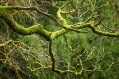 Mystical Woods, Natural green moss on the old oak tree branches. Natural Fantasy forest background.  stock photos
