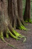 Mystical Woods, Natural green moss on the old oak tree roots. Natural Fantasy forest background.  stock photos