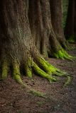 Mystical Woods, Natural green moss on the old oak tree roots. Natural Fantasy forest background.  royalty free stock image