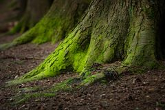 Mystical Woods, Natural green moss on the old oak tree roots. Natural Fantasy forest background. ÑŽ stock image