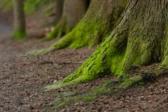 Mystical Woods, Natural green moss on the old oak tree roots. Natural Fantasy forest background. ÑŽ royalty free stock photos
