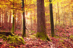 Mystical yellow red sunlight in colorful autumn forest Royalty Free Stock Images
