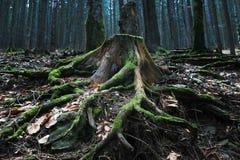 Mysticusstomp bij het hout Royalty-vrije Stock Fotografie