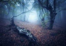Mystiek de herfstbos in mist in de ochtend Oude Bomen Stock Afbeeldingen