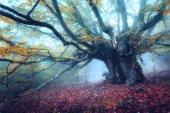 Mystiek de herfstbos in mist in de ochtend Oude boom Royalty-vrije Stock Afbeelding