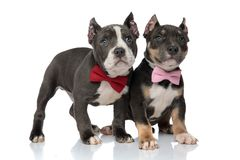 Mystified American Bully puppies curiously looking up. While wearing pink and red bowties and standing on white studio background stock photos