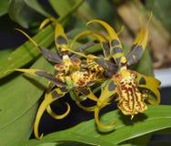 Mystiker Maze Orchid Hybrid Royaltyfri Foto