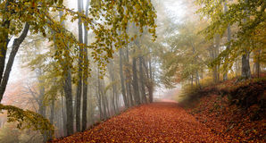 Mystique path in the forest. Misty deciduous forest in autumn with a path making the way through the beech trees Royalty Free Stock Image