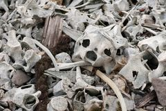 Mystischer Platz auf der Küste von Svalbard - Knochen von Belugas lizenzfreies stockbild