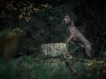 Mystischer thailändischer ridgeback Hund im Wald Lizenzfreies Stockbild