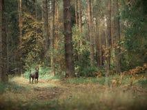 Mystischer thailändischer ridgeback Hund im Wald Stockfoto