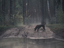 Mystischer thailändischer ridgeback Hund im Wald Lizenzfreie Stockfotos