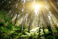 Mystisches Forrest Lizenzfreies Stockbild