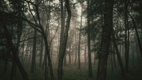 Mystisk dimmig skog Royaltyfri Foto