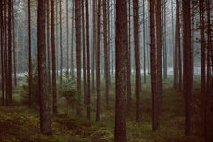 Mystisk skog i morgondimma, i den Kemeri nationalparken arkivbilder