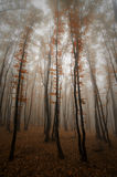 Mystisk skog med dimma och röda sidaträd Arkivbild