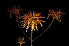 Mystiska röda blommor på svart bakgrund royaltyfri foto