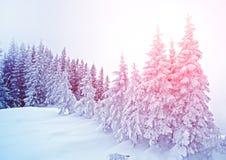 Mystiskt vinterlandskap av träd i det nya året för solljus, lopp Royaltyfri Bild