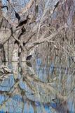 Mystrious dead trees Menindee Lakes Australia Royalty Free Stock Image