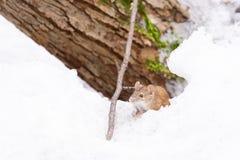 Mysz śniegu zima obrazy royalty free