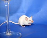 mysz biel Zdjęcia Stock