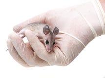 Mysz - eksperymentalny zwierzę obraz stock