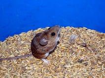 Mysz i owsy zdjęcia stock