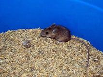 Mysz i owsy zdjęcia royalty free