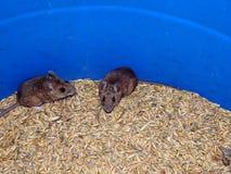 Mysz i owsy obrazy royalty free