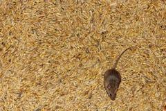 Mysz na banatce w śpiżarni Zdjęcia Stock