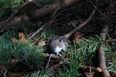Mysz na Lasowej podłoga Fotografia Royalty Free