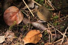 Mysz na Lasowej podłoga Zdjęcia Royalty Free