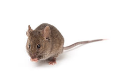 mysz odosobniony biel Zdjęcie Royalty Free