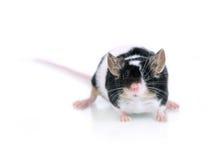 mysz portret obrazy royalty free