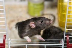Mysz w klatki obwąchaniu znajdować niektóre jedzenie Fotografia Stock