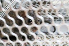 Mysz w mysz oklepu Obraz Stock