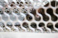 Mysz w mysz oklepu Zdjęcie Royalty Free