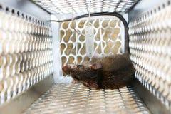Mysz w mysz oklepu Obrazy Royalty Free