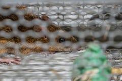 Mysz w żywym chwyta oklepu Obraz Royalty Free