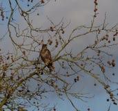 Myszołowa obsiadanie w drzewie Zdjęcie Royalty Free