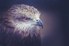 Myszołowa ptak Zdjęcia Stock